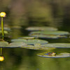 lotus lily pads and frog