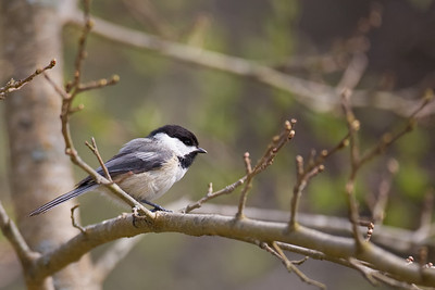 Black-Capped Chickadee at Wellfleet Wildlife Sanctuary