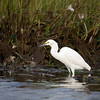 snowy egret in Nauset Marshes