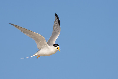 angry least tern