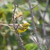 thorny branch w prairie warbler