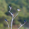 tree swallows on dead tree