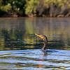 double-crested cormorant in upper Pamet River