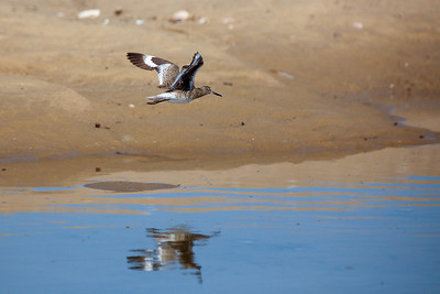 flying willet