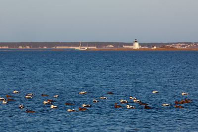 ducks in a row at Long Point