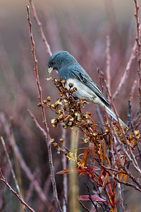 dark-eyed junco on colorful fall stalks