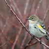 late autumn yellow-rumped warbler 2