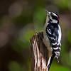 downy woodpecker on stump