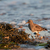 seaweed with purple sandpiper
