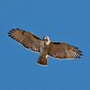 underside of hawk in flight 2