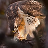 hawk killing chipmunk