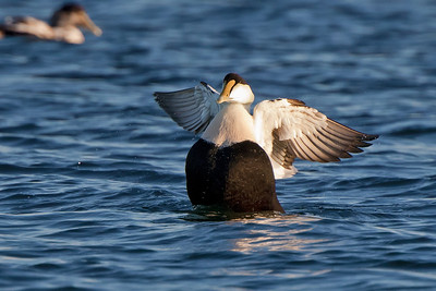 flapping eider