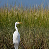 great white heron in Coskata Pond Nantucket