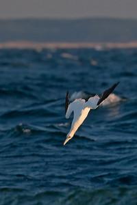 gannet in dive