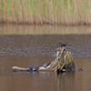 turtles and red-winged blackbird on submerged stump