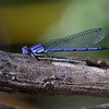 damselfly on branch