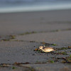 dashing sanderling