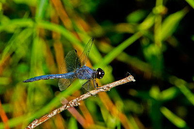 fat dragonfly