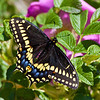 black swallowtail on rosa