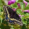 black swallowtail on rosa