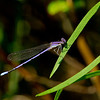 purple damselfly