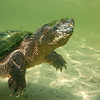 floating snapping turtle