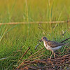 spotted sandpiper on Pamet bank