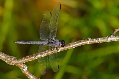 Slaty skimmer dragonfly at Great Pond