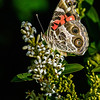 whit flower with American painted lady
