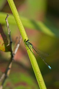 Eastern forktail damselfly at Village Pond