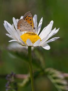 American Copper butterfly on daisy