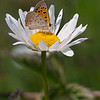 American Copper butterfly on daisy