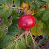 fruit of rosa rugosa