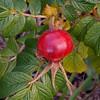 fruit of rosa rugosa