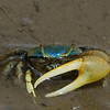 turquoise fiddler crab