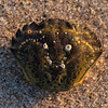 lady crab shell with barnacles and sand grains