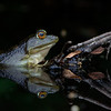 frog in dark water