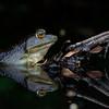frog in dark water