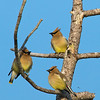 three waxwings in Beech Forest