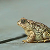 American toad on deck 2