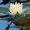 water lily slightly nibbled