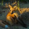 fox in sox
