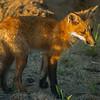 fox bathed in setting sun