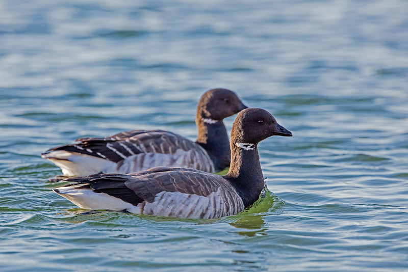 two brant geese swimming