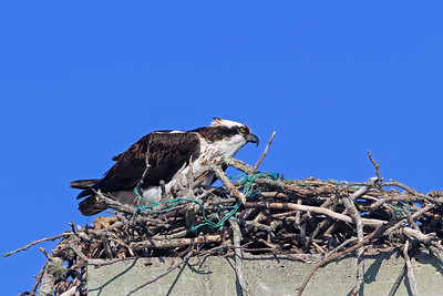 osprey in messy nest Wellfleet Harbor
