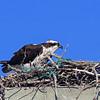 osprey in messy nest Wellfleet Harbor