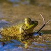 frog and forked twig Great Pond