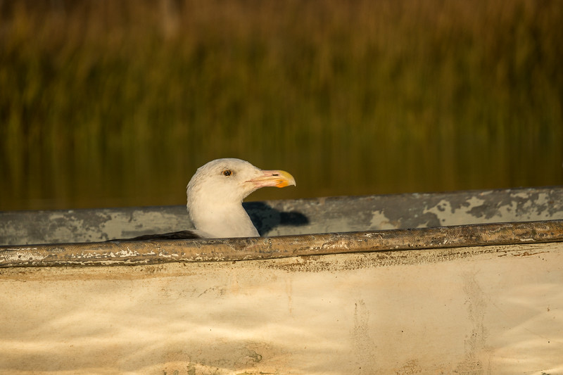seagull in a rowboat