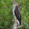 Coopers Hawk facing the other way