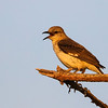 mockingbird in sunset